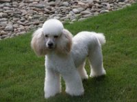 Poodle Puppies For Sale in Massachusetts - Poodle Breeders